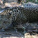 Okavango Delta, Botswana Leopard by Laura Puglia