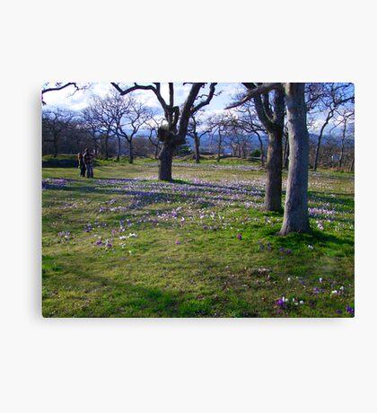 Field of Crocus Canvas Print