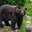 Grizzly Bear, Grouse Mountain by Jennifer Stuber