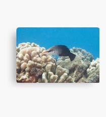 Bird Wrasse Canvas Print