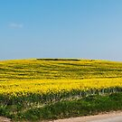 Yellow fields   by Jim Hellier
