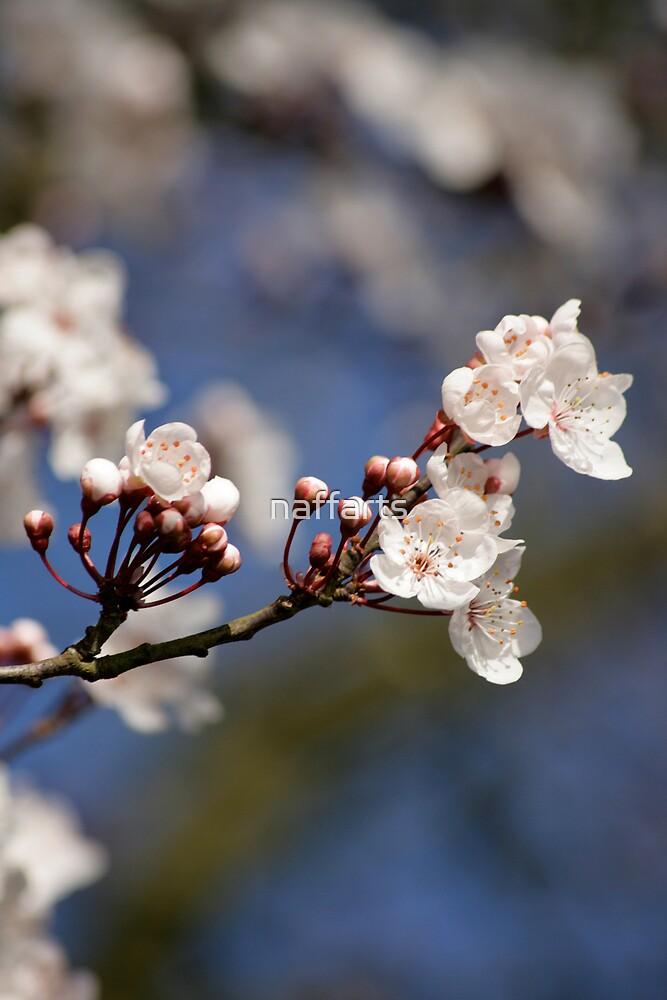 First seasons Apple Blossom by naffarts