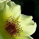 Single Rose by Nancy Barrett
