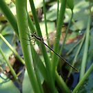 Swamp Spreadwing (Lestes vigilax) by May Lattanzio