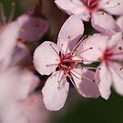 Pink Blossom #1 by Martina Fagan