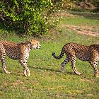 Kenya. Maasai Mara National Reserve. Cheetahs. by vadim19