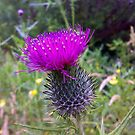 Thistle by Finbarr Reilly