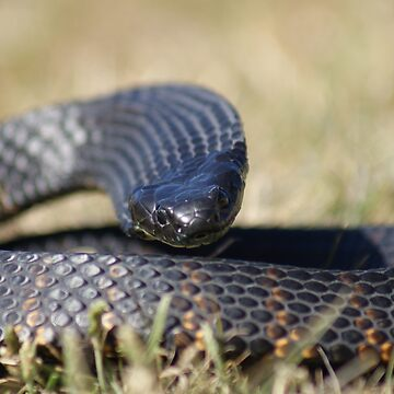 Tasmanian Tiger Snake Flat out by MickThow