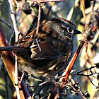 Lincoln's Sparrow by Chuck Gardner