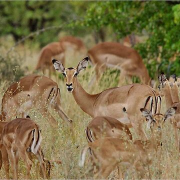 Come children, time to go! IMPALA – Aepyceros melampus melampus – ROOIBOK by mags