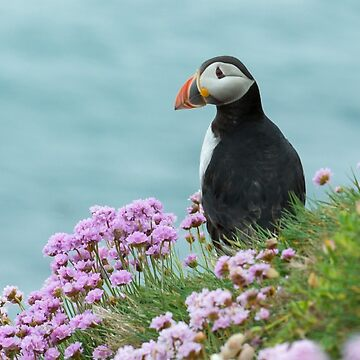 Puffin in pinks, Saltee Island, County Wexford, Ireland by AndyJones