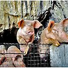 Cave Dwelling Pigs by Mark Ross