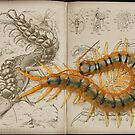 Scolopendra showcase by blepharopsis