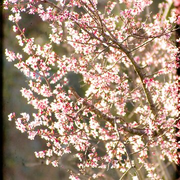 Pretty in Pink by Jonicool