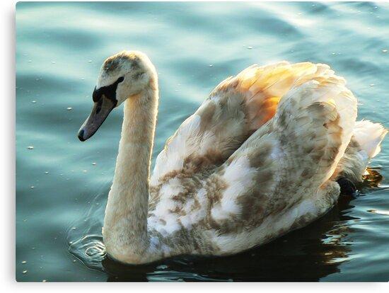 """I am a Swan...."" by Finbarr Reilly"