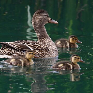 Mama and her Ducklings by wildshots