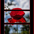 Poppy Triptych by Martina Fagan