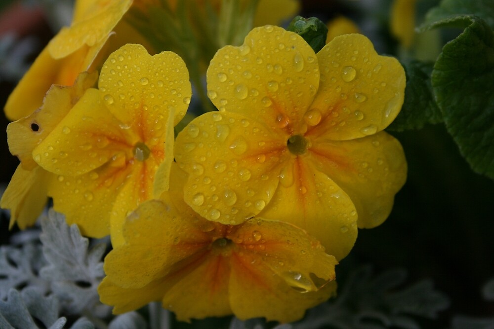Yellow Polyanthus by RedHillDigital