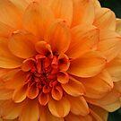 Orange Dahlia by RedHillDigital