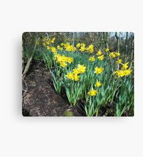 Bed of Daffodils Canvas Print