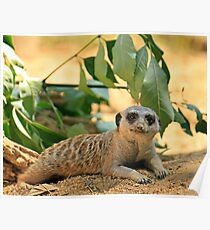 Sexy Meerkat Pose Poster