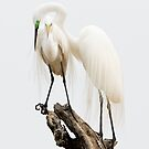 Egret Love, Great Egrets by SuddenJim