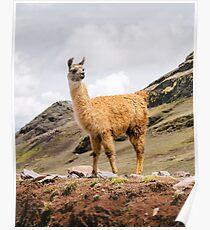 Ein Lama in den Anden außerhalb von Cusco, Peru Poster