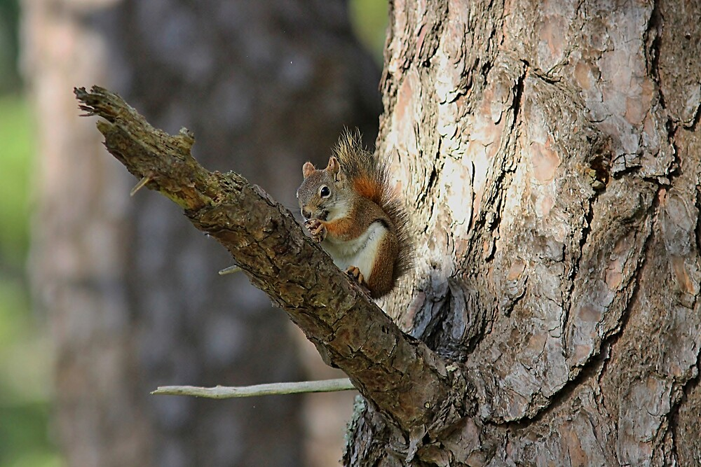 Red squirrel in a tree by Linda Crockett