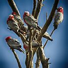 Galahs resting tree by adbetron