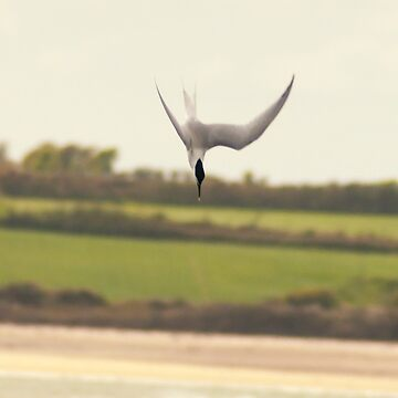 Diving tern, Bannow beach, County Wexford, Ireland by AndyJones