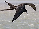 Magnificent Frigatebird by Yukondick