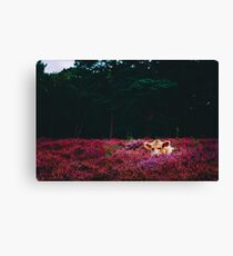 Galloway Cow Taking A Nap Canvas Print