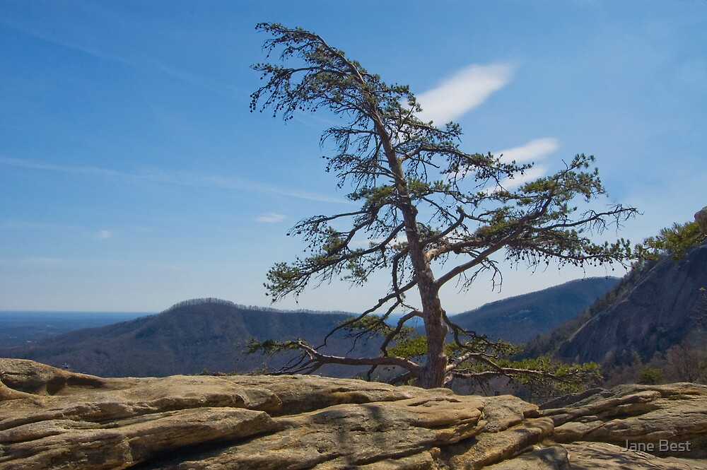 Lone Pine on Top of the Rock by Jane Best