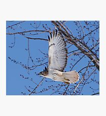 In a hurry......Red Tail on the move. Photographic Print