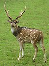Axis Deer  by Ginny York