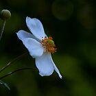 Japanese Windflower by Ian English
