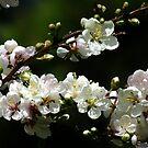 Prunus Elvins Blossom by Gabrielle  Lees