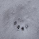 Paw print in the snow by Tony Blakie