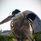 The Great Blue Heron by Gail Falcon