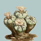 Lophophora williamsii / Peyote - antique botanical illustration 1847  by sucsforyou