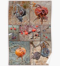 Beach Rose Hips - Woods Hole - Cape Cod Poster