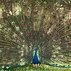 Indian Peacock displaying a plumage by Zina Stromberg