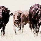 Three  Cows  , Uralba by Trish Threlfall