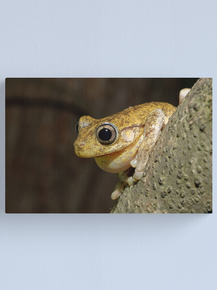 Alternate view of Peron's Tree Frog Canvas Print