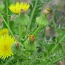 Sow Thistle by DottieDees