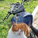 Ginger and White Tabby Cat Sunbathing on A Motorcycle by taiche
