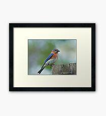 March Bluebird  Framed Print