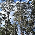Tall trees by Bryan Cossart