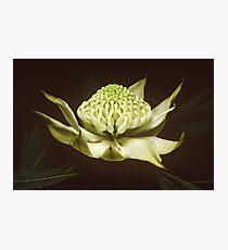 White waratah (Telopea speciosissima cv) Photographic Print