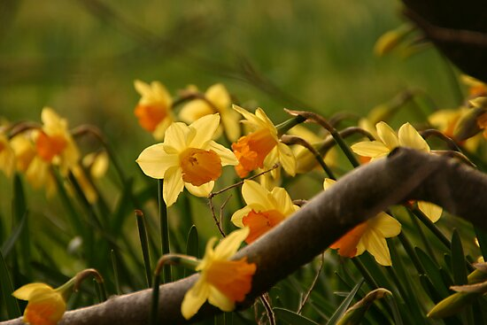 Daffy in the Woods by Martina Fagan
